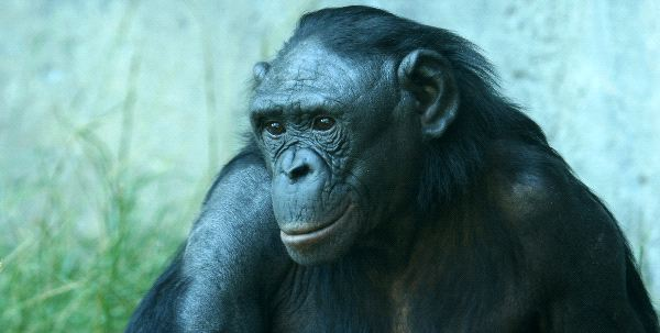 A Close Up Portrait Of A Bonobo Chimpanzee
