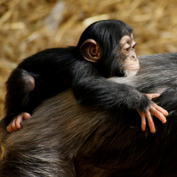 Baby Chimpanzee with Mother