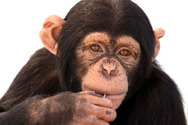 Chewing Chimp