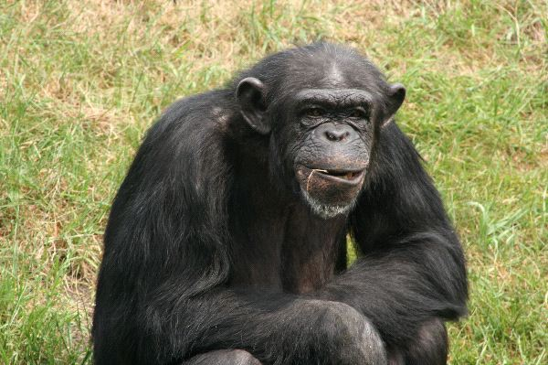 Old Chimpanzee