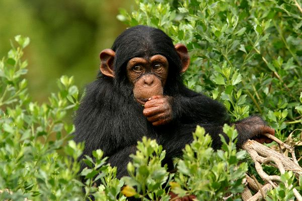 Young Chimp Eating