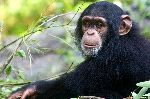 Young Chimpanzee Looking