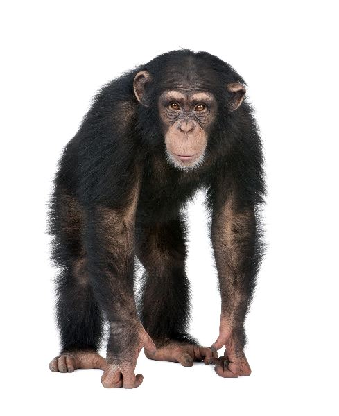 Young Chimpanzee Looking At The Camera
