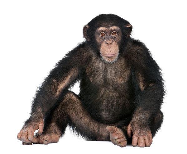 Young Chimpanzee Pan Troglodytes Seated