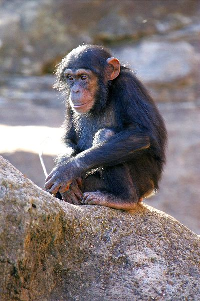 Young Chimpanzee on Rock