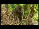 Baboons Vs Chimpanzees