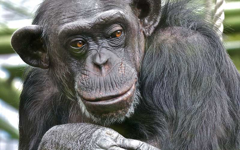 Information about the bonobo