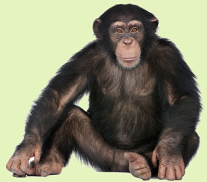 chimpanzee seated