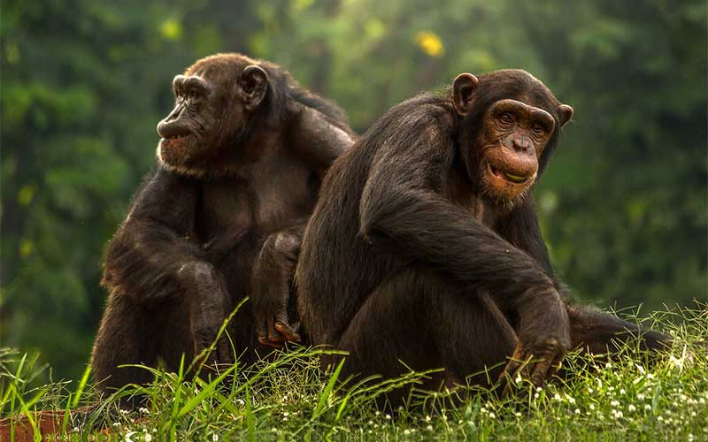 Species of chimpanzees