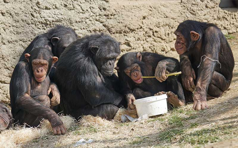 What tools do chimpanzees use?
