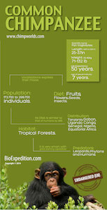 Common chimpanzee infographic