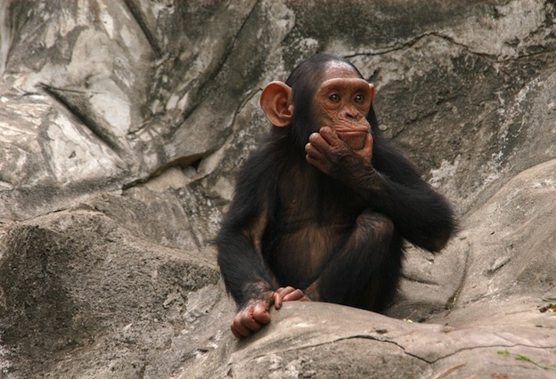 Robust chimpanzee, an endangered species