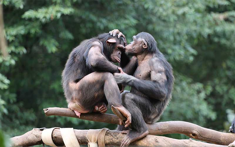 How do chimpanzees communicate?
