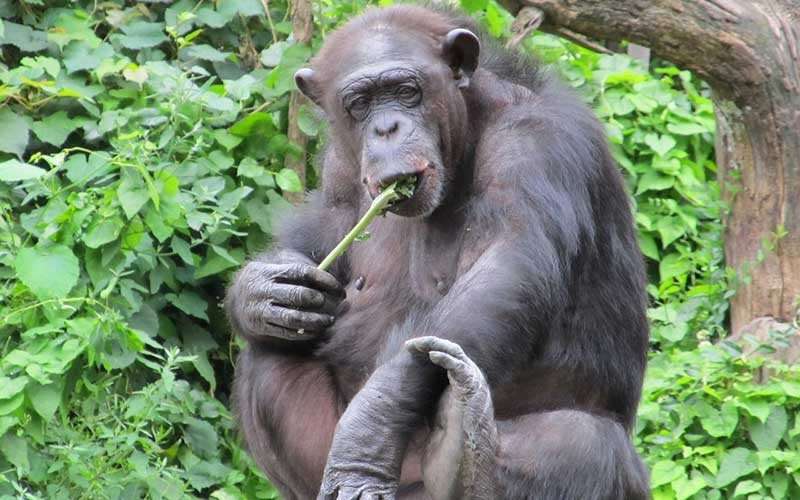 Chimpanzee Diet and Nutrition