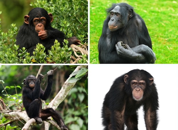 especies_chimpances_624