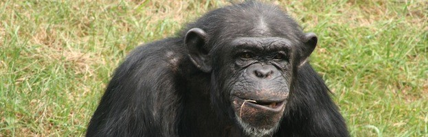 Chimpanzee Feeding
