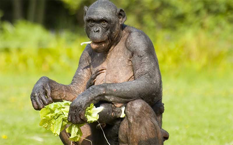 Chimpanzee feeding habits.