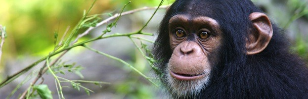 Chimpanzee Information