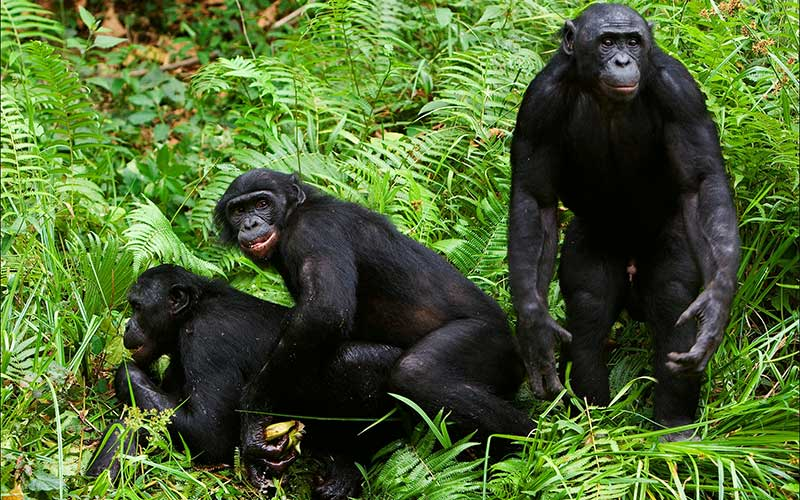 Reproduction of chimpanzees.