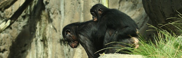 Chimpanzee Species